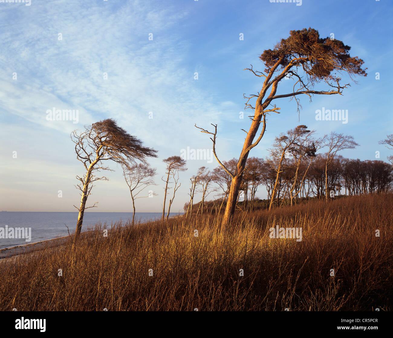 Windblown Pines (Pinus sylvestris) on the western beach of Darss Peninsula, Bodden Landscape National Park - Stock Image