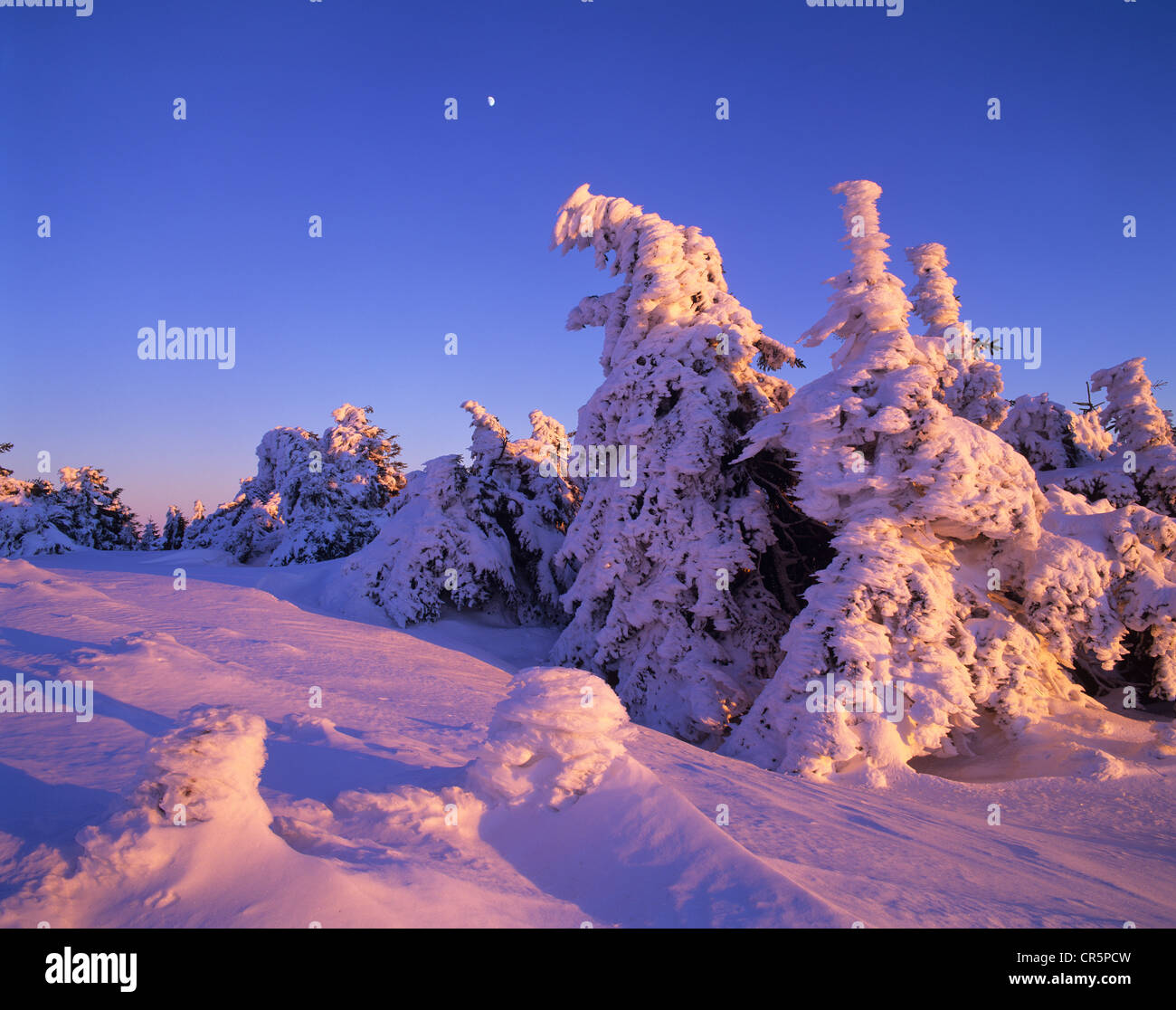 Snow-covered spruce trees on Brocken Mountain at sunset with the moon in the sky, Brocken, Harz National Park, Saxony - Stock Image
