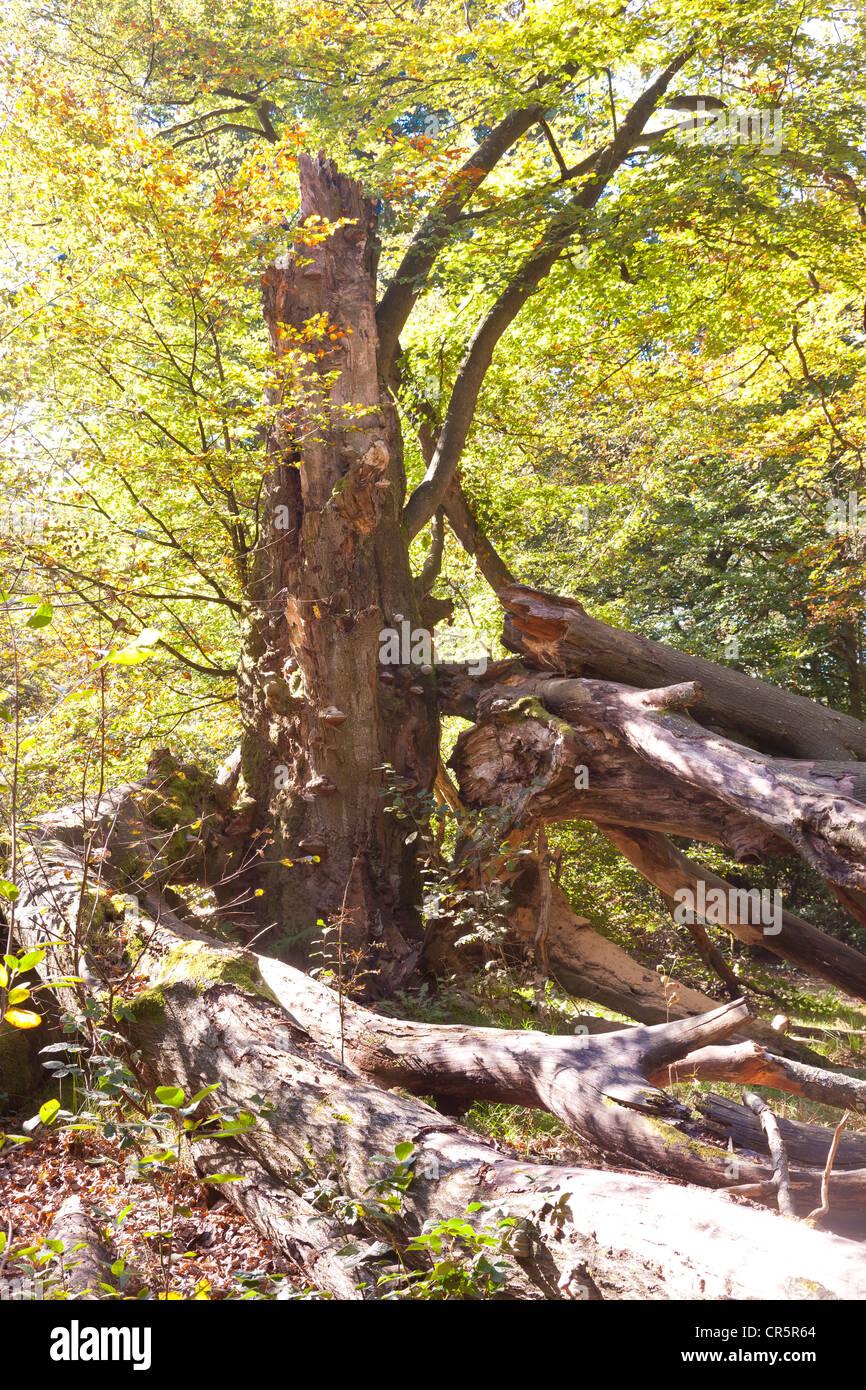 Urwald Sababurg primeval forest, Reinhardswald, Hesse, Germany, Europe - Stock Image