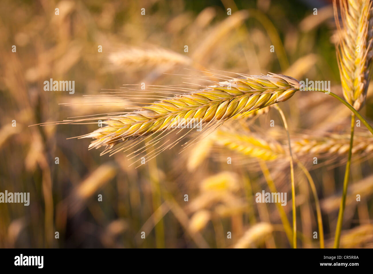 Ears of corn, rye (Secale cereale), corn field before maturity - Stock Image