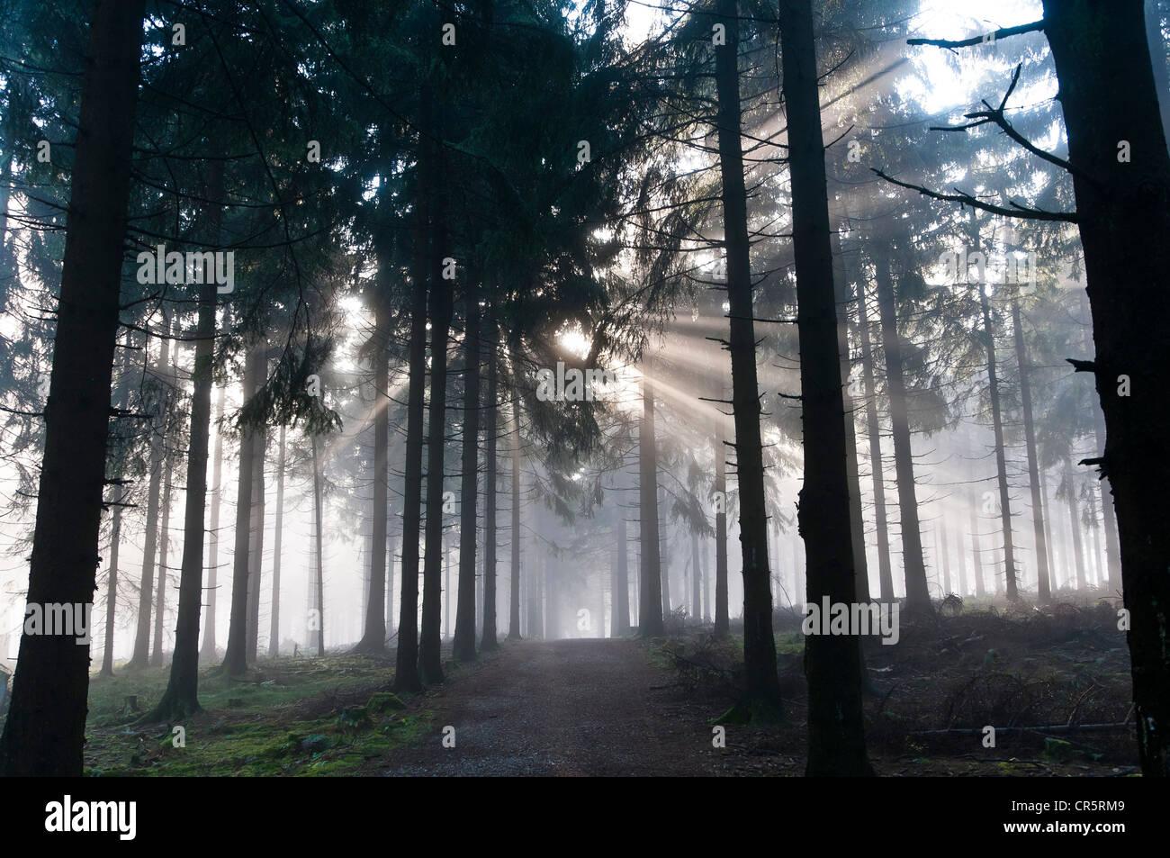 Sun rays penetrating the morning mist in a forest, Mt Feldberg in the Taunus range, Hesse, Germany, Europe - Stock Image