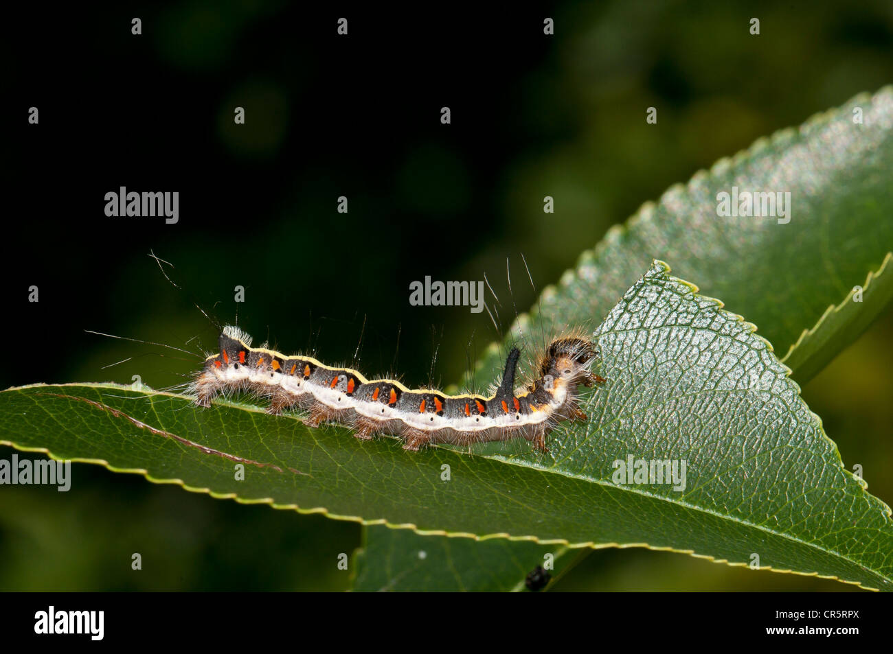 Caterpillar of a Grey Dagger Moth (Acronicta psi) eating a leaf of a Bird Cherry or Hackberry (Prunus padus), Henne Stock Photo