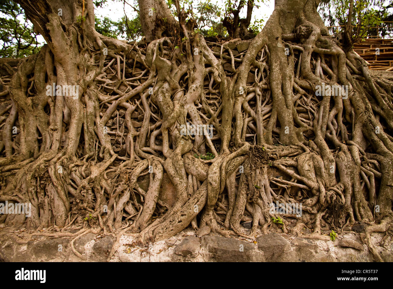 Intertwined tree roots at Fasilida's Pool, Gonder, Ethiopia, Africa - Stock Image
