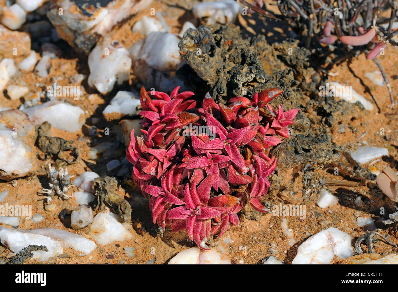 Crassula congesta turned red by lack of water and heat, Knersvlakte, Western Cape, Namaqualand, South Africa, Africa - Stock Image