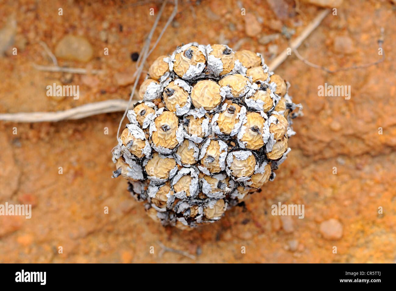 Conophytum sp. in dry season, Aizoaceae, Mesembs, Naries, Namaqualand, South Africa, Africa - Stock Image