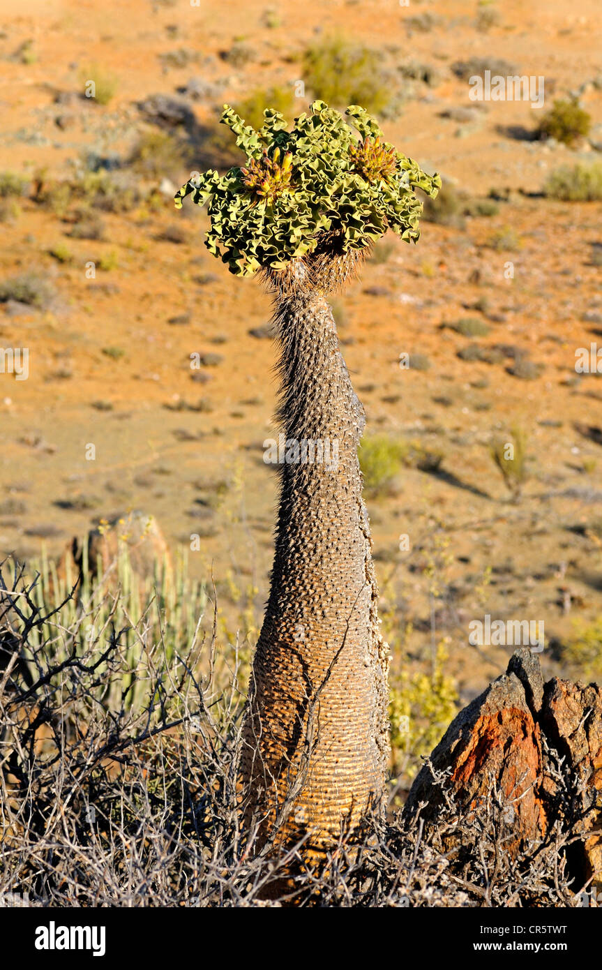 Club Foot or Elephant's Trunk (Pachypodium namaquanum) with inflorescence, Richtersveld National Park, South - Stock Image