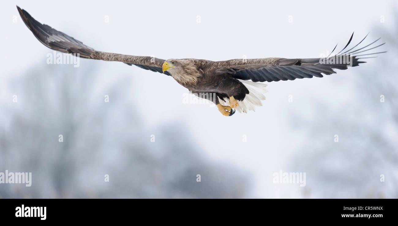 white-tailed eagle (haliaeetus albicilla), feldberger seenlandschaft, mecklenburg-vorpommern, germany - Stock Image