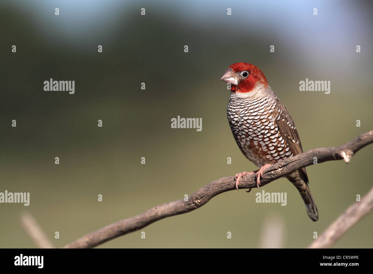 redheaded finch, single adult male perched - Stock Image
