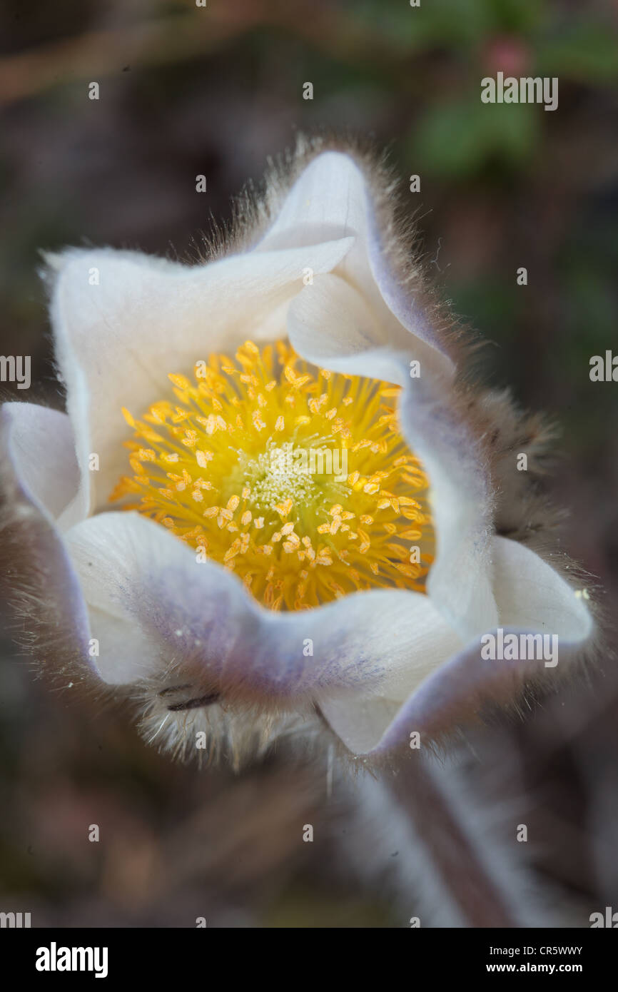 The genus Pulsatilla contains about 33 species of herbaceous perennials native to meadows and prairies of North - Stock Image