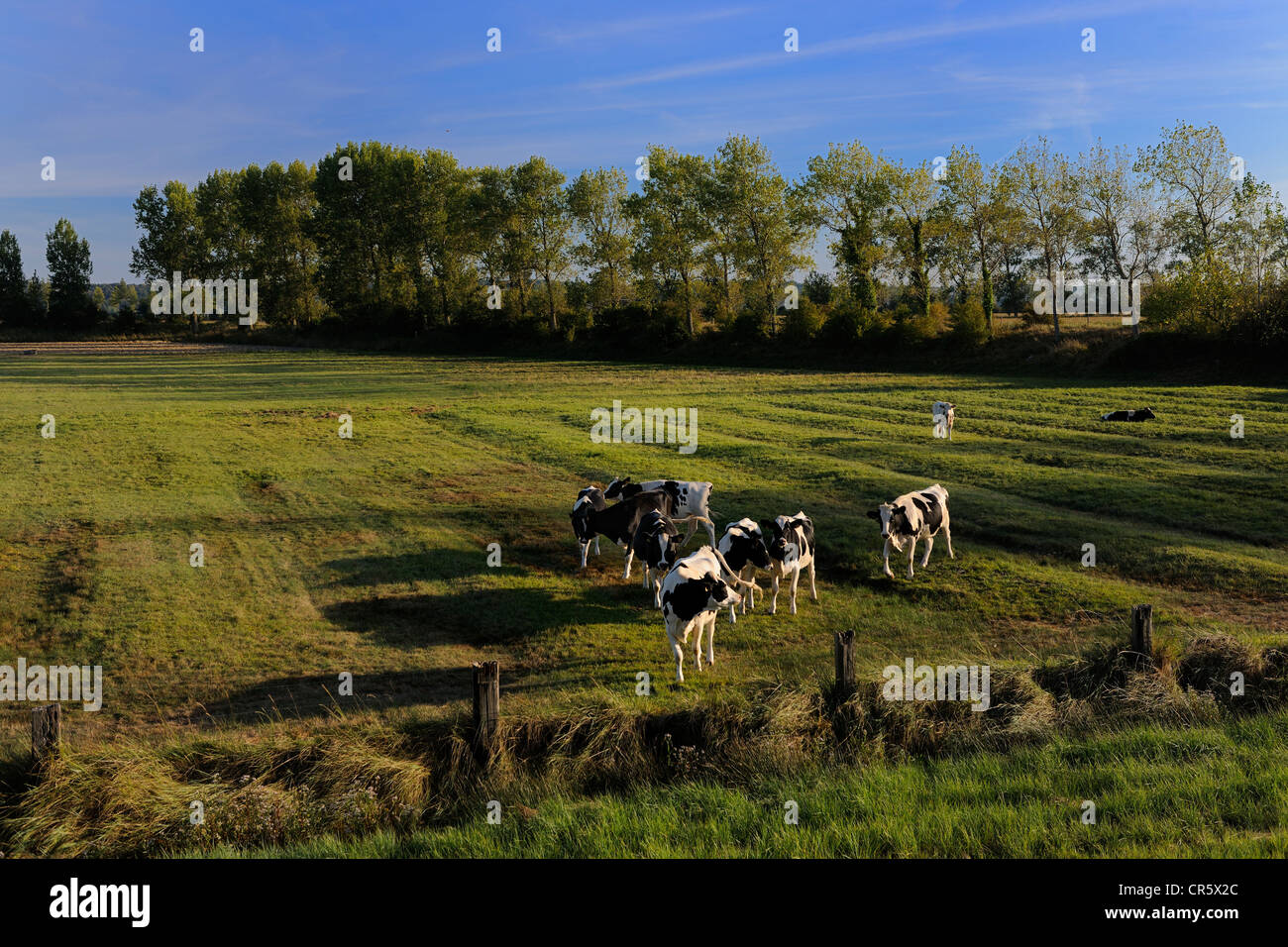 France, Ille et Vilaine, the polder of Mont Saint Michel, cows in meadow - Stock Image