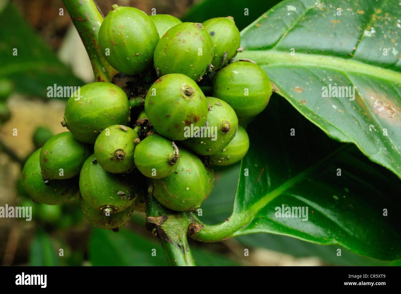 Fruits of coffee plant, Coffea arabica, Bali forest, Indonesia, Asia - Stock Image