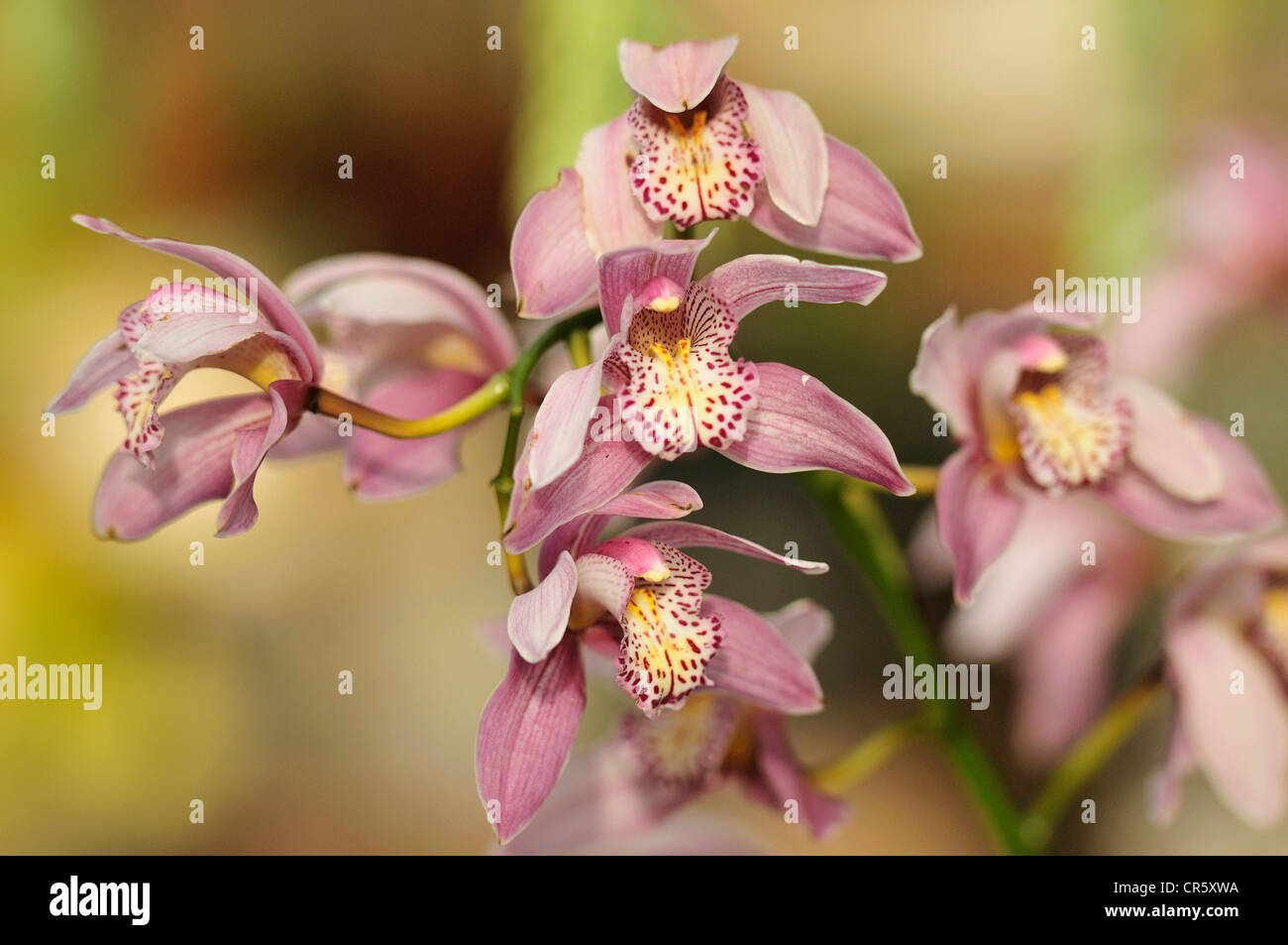 Orchid, Tegallalang market, Ubud, Bali, Indonesia, Asia, - Stock Image