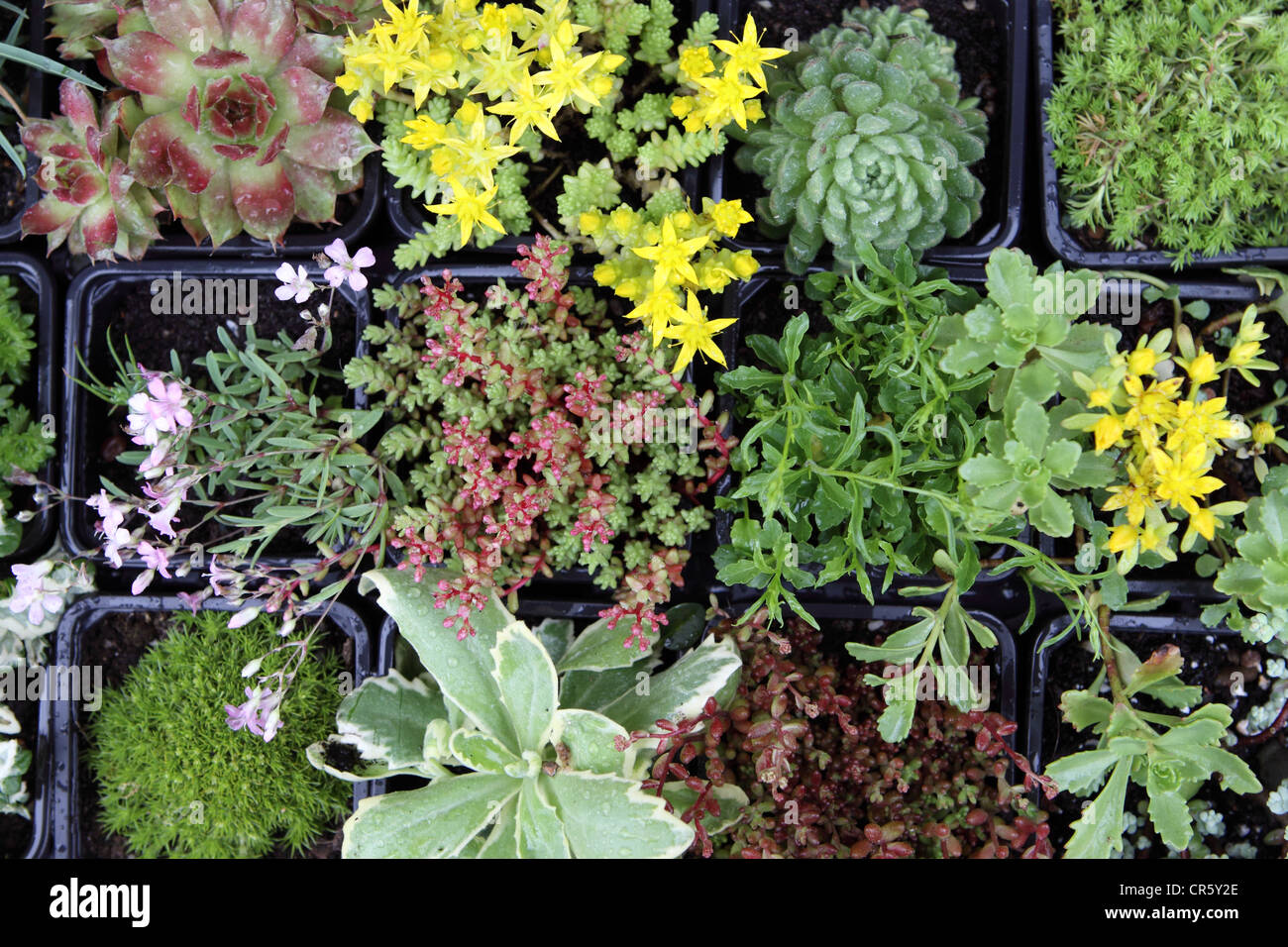 Alpines A Variety Of Small Alpine Plants Stock Photo 48688822 Alamy