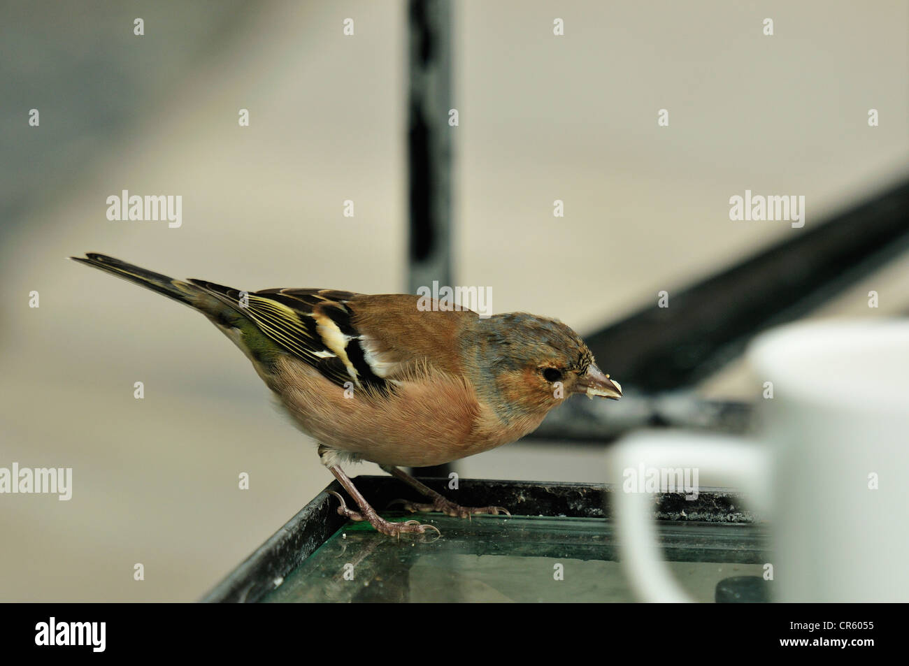 Male of Common Chaffinch Frigilla coelebs, Fringillidae, Glenveagh Castle, Glenveagh National Park, Donegal, Irlanda - Stock Image