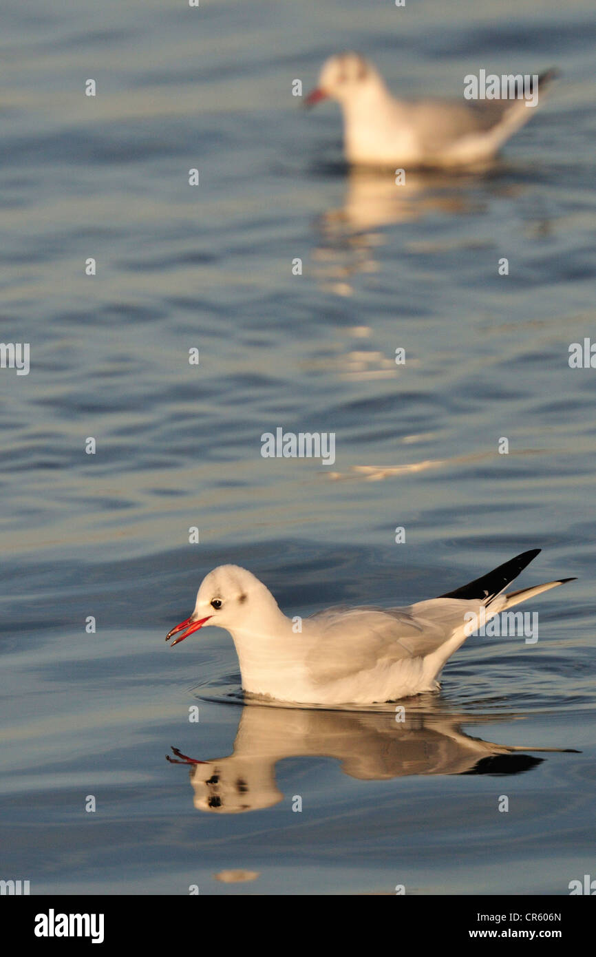 Black headed gull Larus ridibundus, Laridae, Dublin, Ireland, Europe - Stock Image