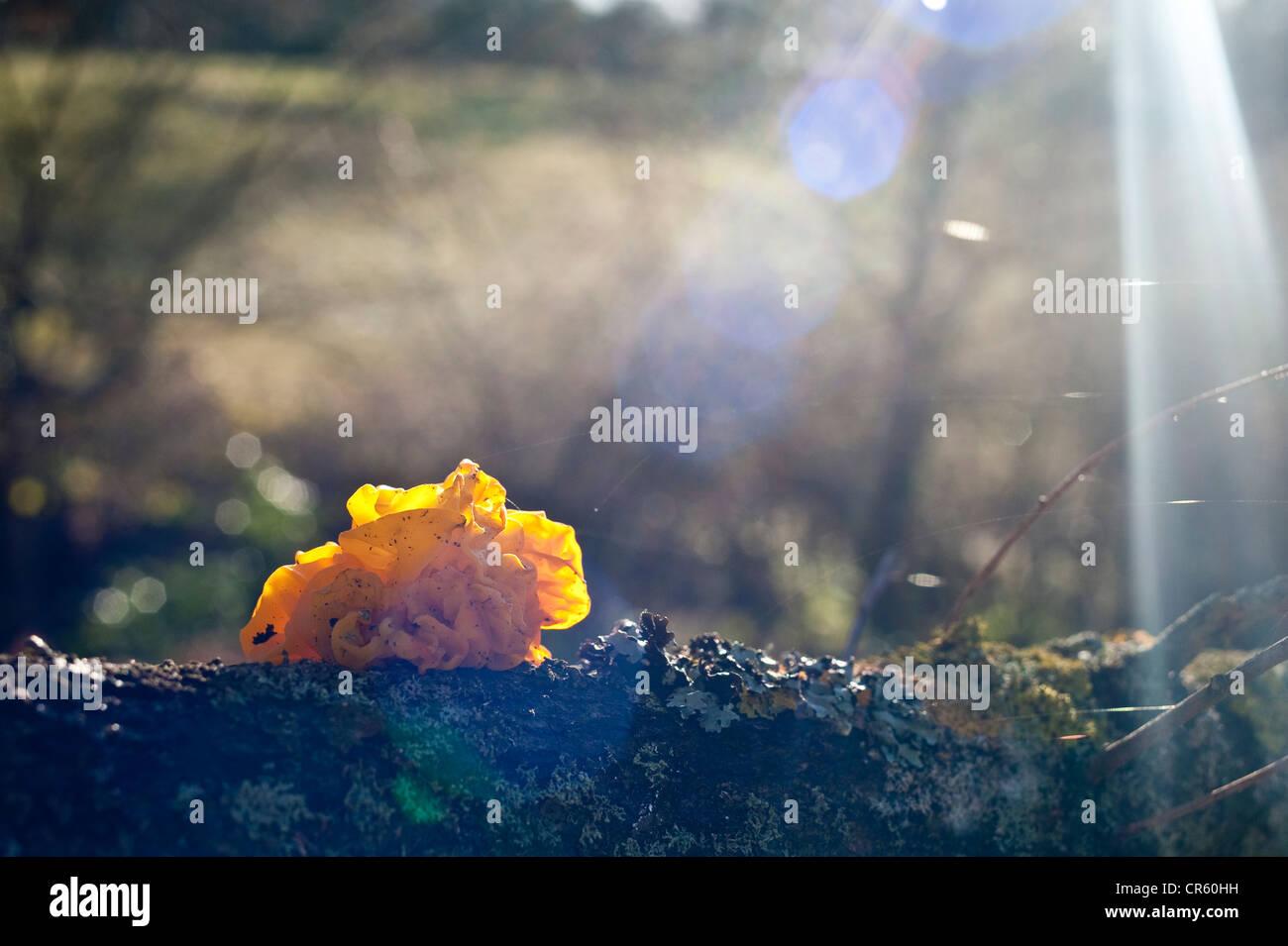 Autumn day a photograph of a Tremella Mesenterica, common term Yellow brain fungus - Stock Image