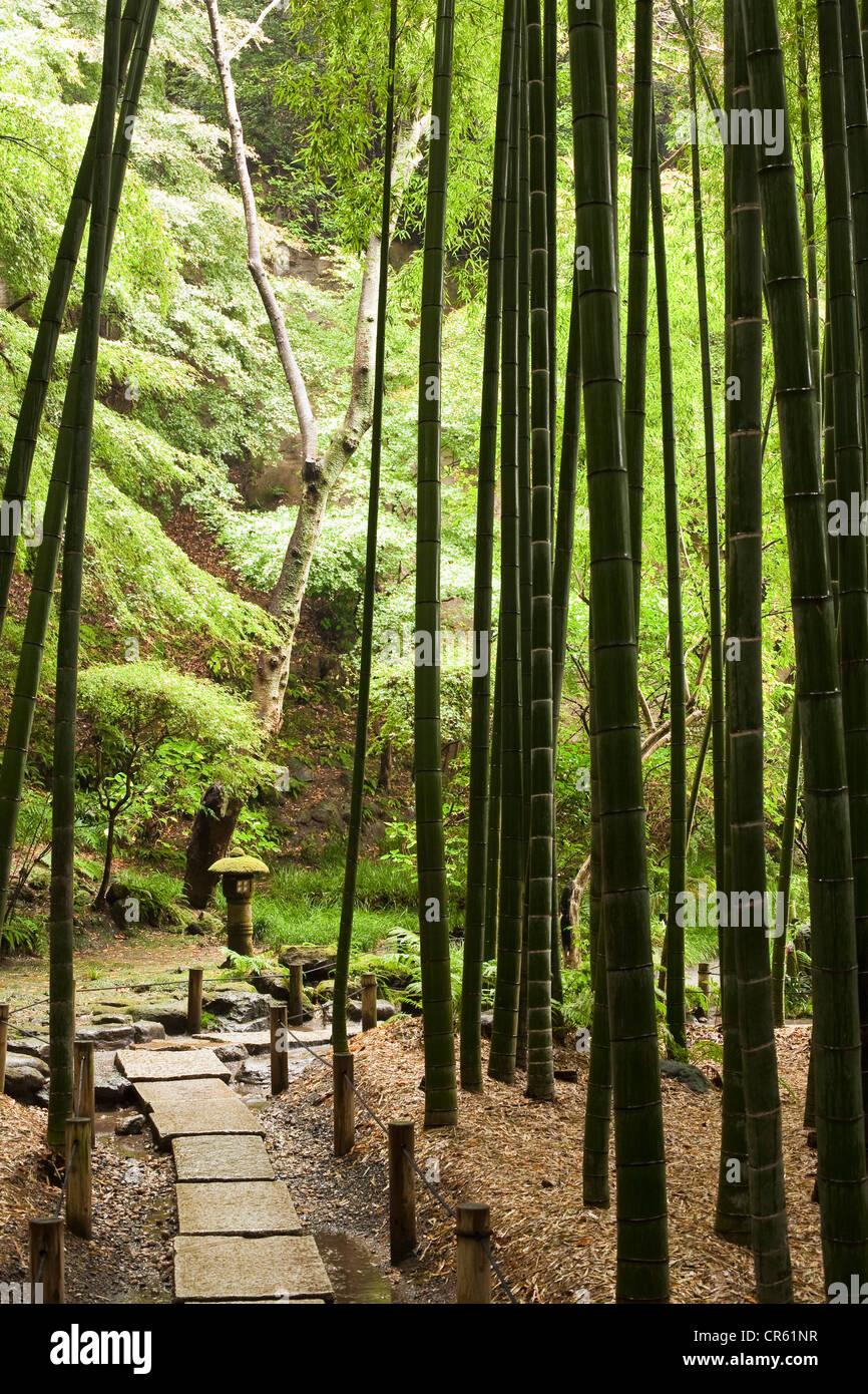Japan, Honshu Island, Kanto Region, Kamakura, Hokoku-ji Temple also known as Bamboo Temple, Bamboo Forest - Stock Image