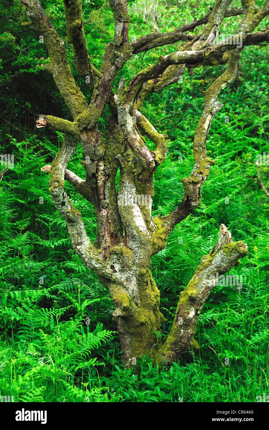 A dead tree with bracken UK Stock Photo