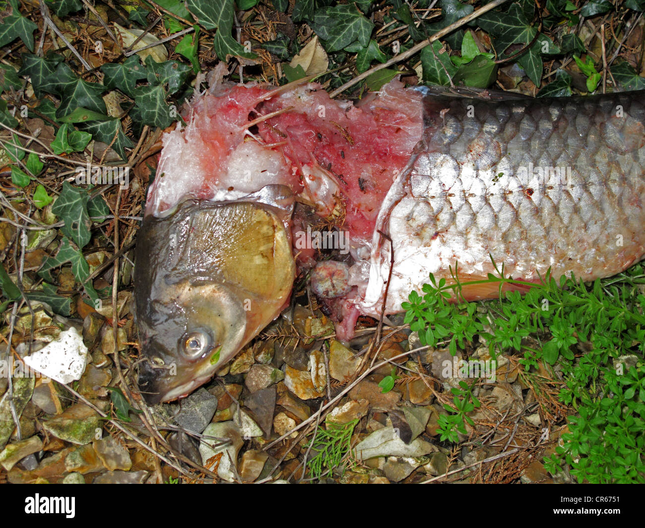 A Grass Carp From A Garden Pond Killed And Partly Eaten By
