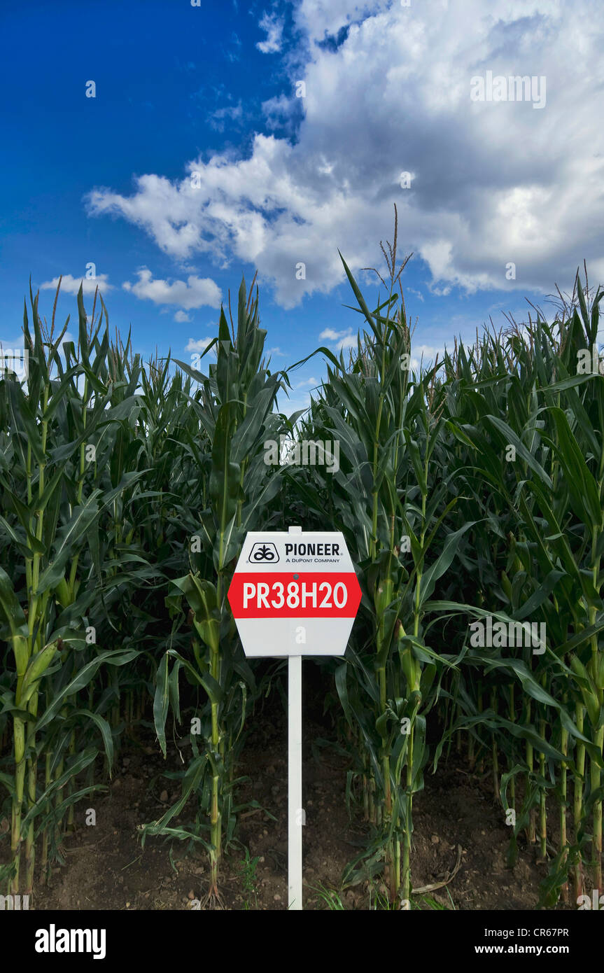 Maize, research and testing crops from company Pioneer, maize for biogas plants PR38H20, maize cultivation and selection - Stock Image