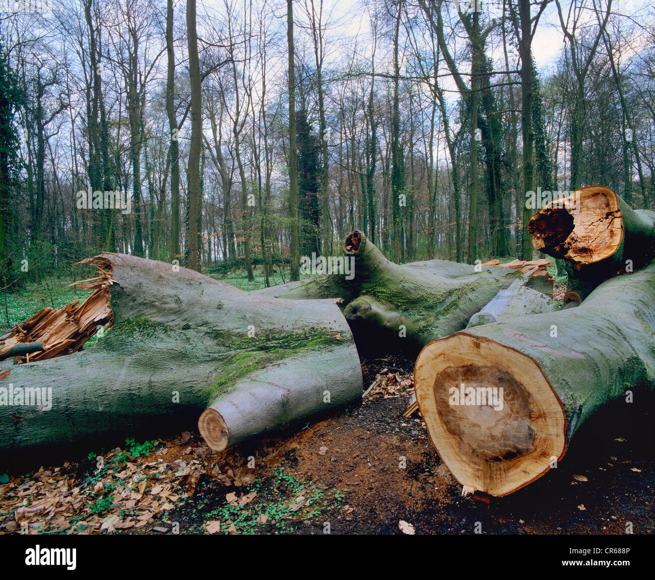 Wind breakage, cut up trunks of fallen trees, European beech, common beech (Fagus sylvatica) - Stock Image