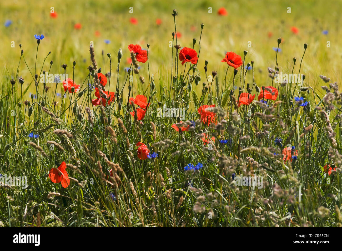 Natural edge of a field with flowering grasses and wild flowers, Poppies (Papaver rhoeas), Cornflower (Centaurea - Stock Image
