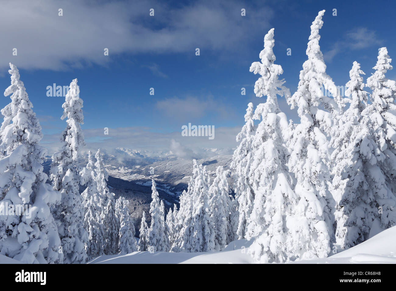 Austria, Salzburg County, View of snow covered firs on mountain - Stock Image