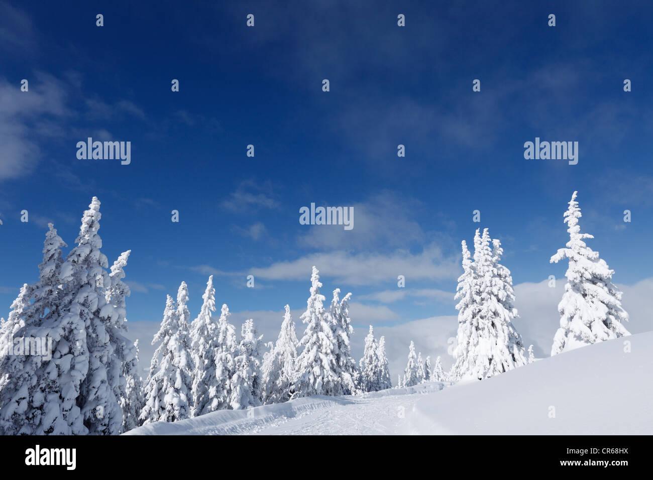 Austria, Salzburg, View of snow covered firs on Gasslhohe mountain - Stock Image