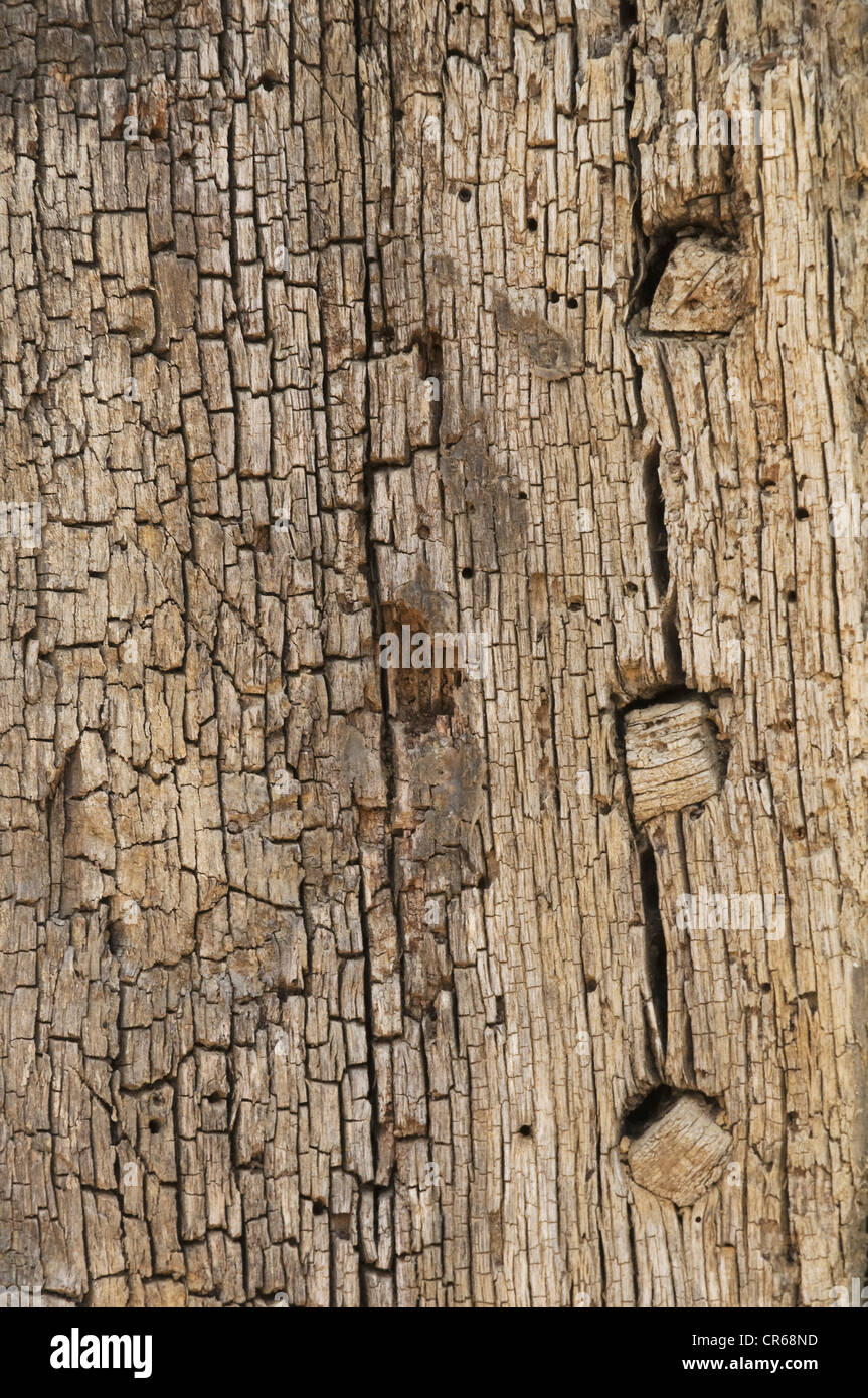 Old oak post with woodworm holes and wooden pins, background - Stock Image