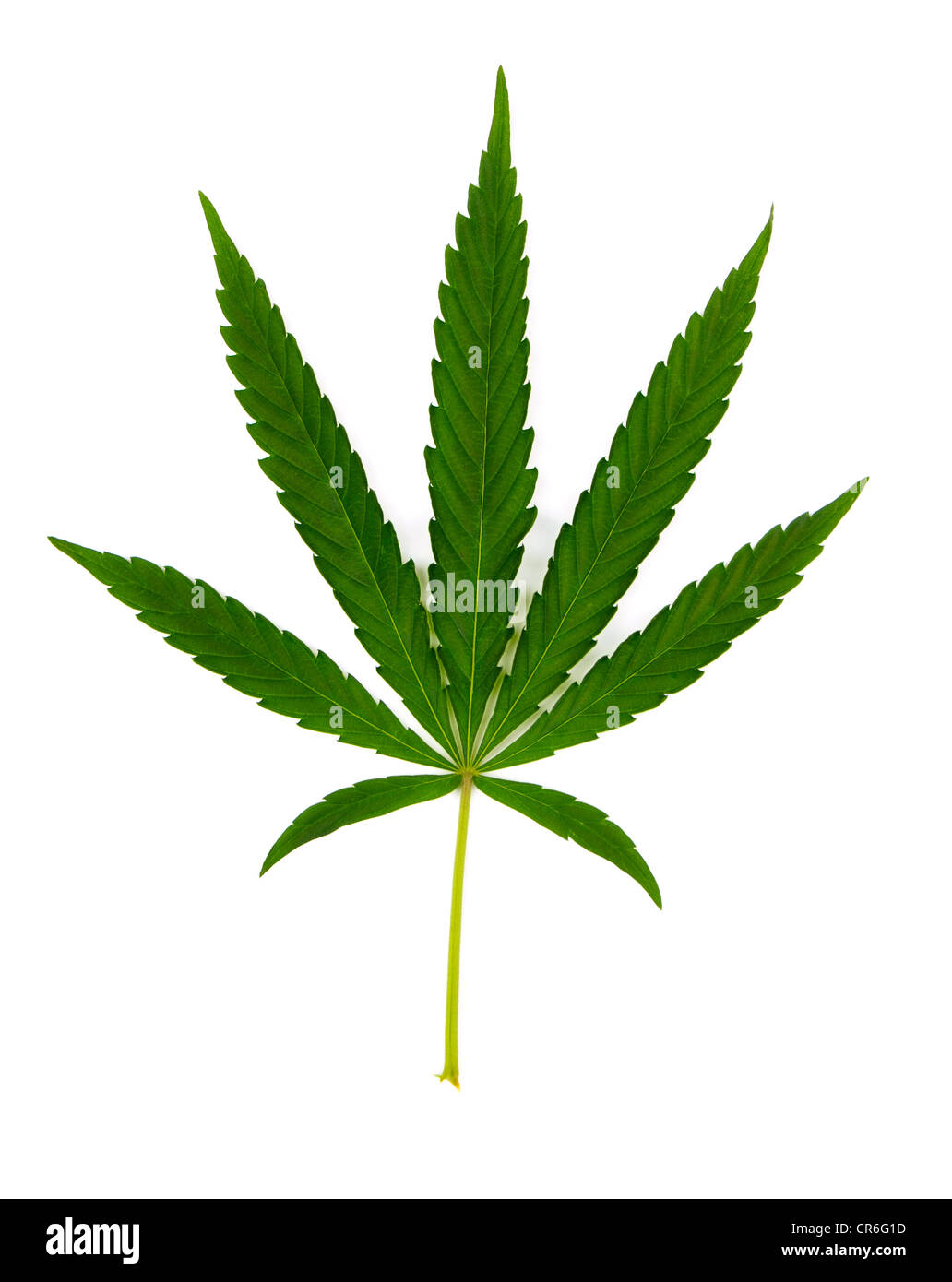 Green leaf of hemp (cannabis) isolated on white - Stock Image