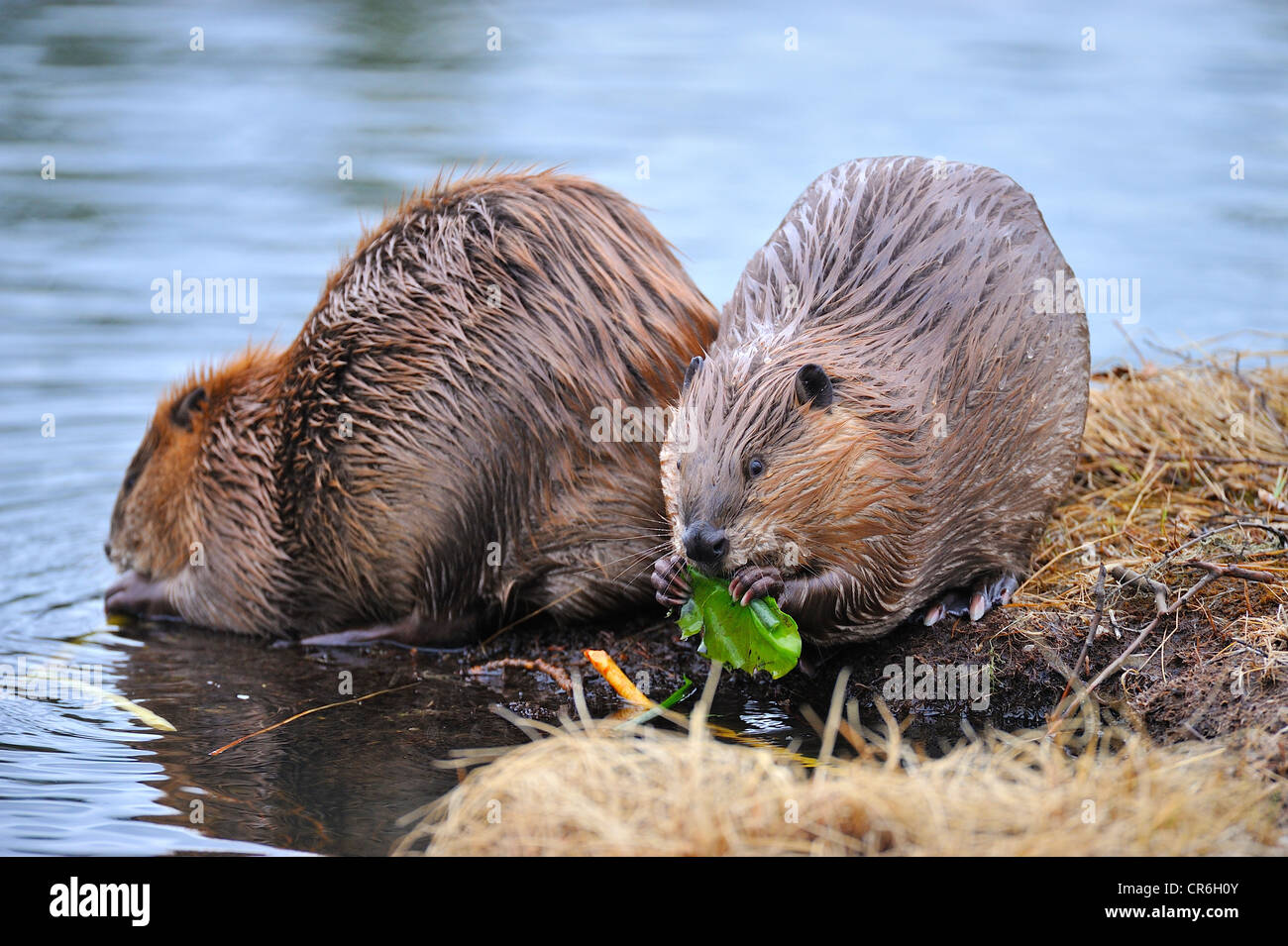 A horizontal image of 2 beavers feeding on some fresh green water lily pads - Stock Image