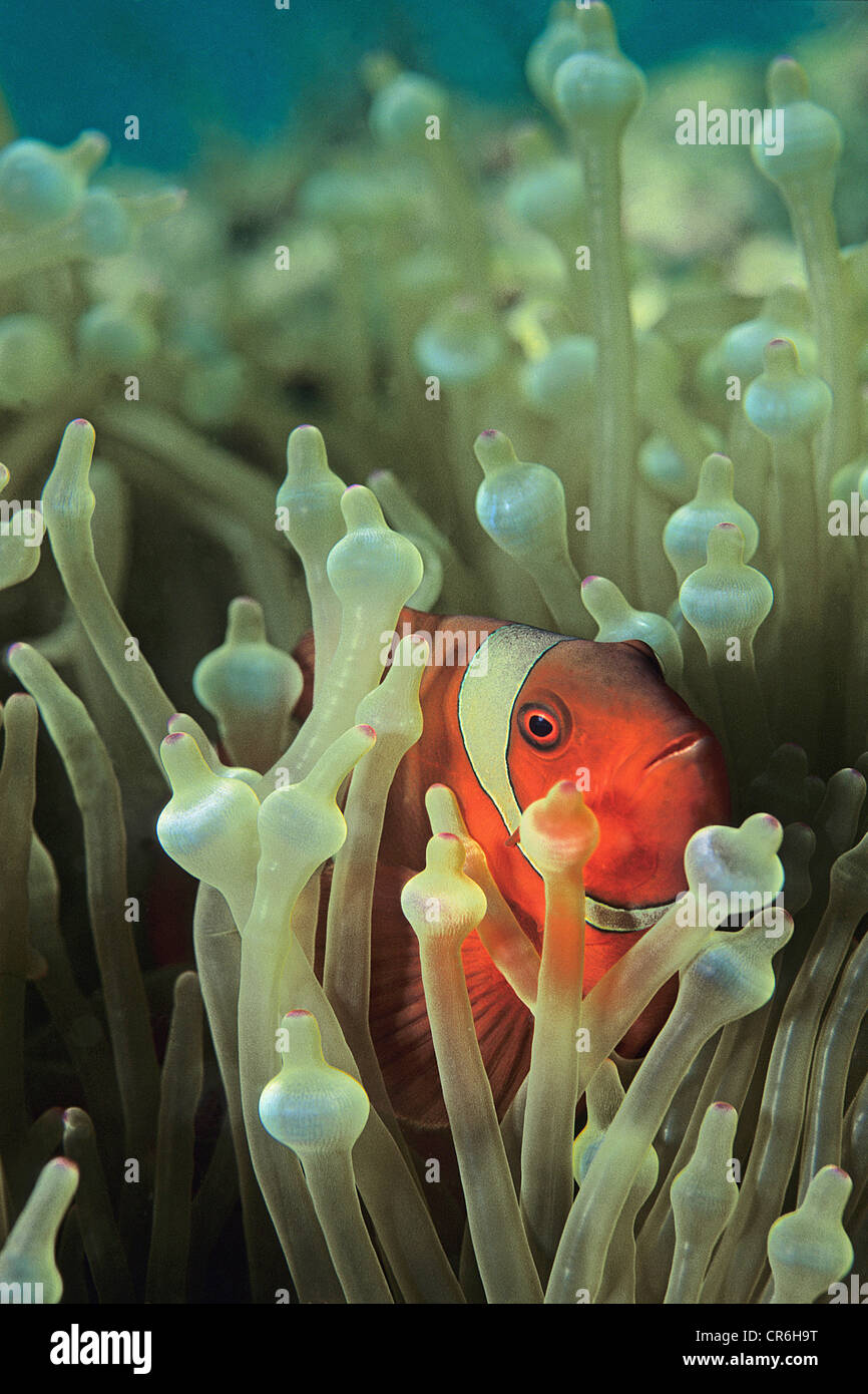 Maroon Clownfish (Premnas biaculeatus), lives mostly in Bubble Anemone (Entacmaea quadricolor), , Malaysia, Indo - Stock Image