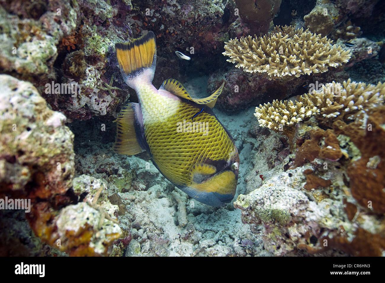 Giant trigger fish (Balistoides viridescens), Maldives, Indian Ocean, Asia - Stock Image
