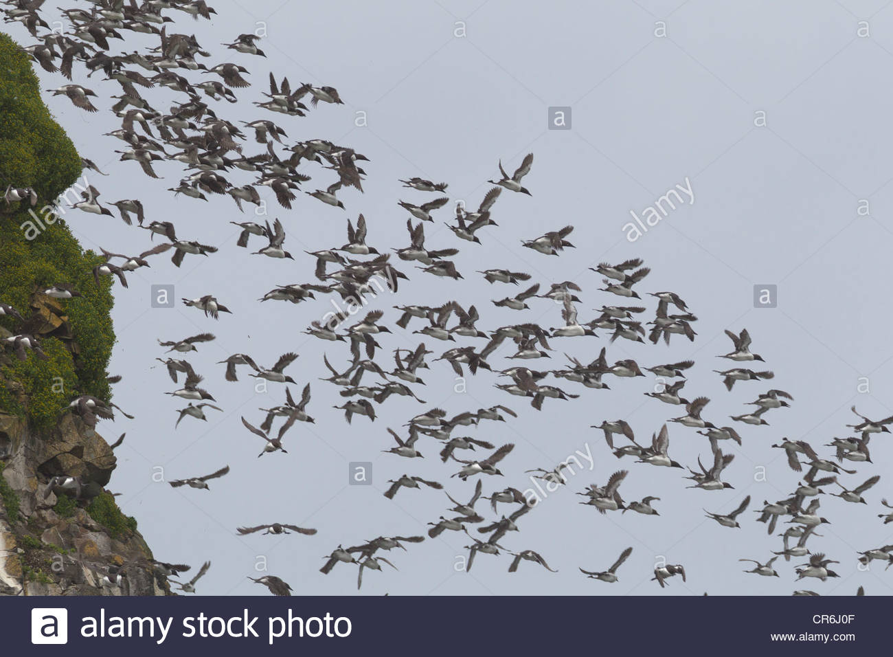 A large flock of Common Murres (Uria aalge), also known as Common Guillemots, dives off Chapman Point near Cannon Stock Photo