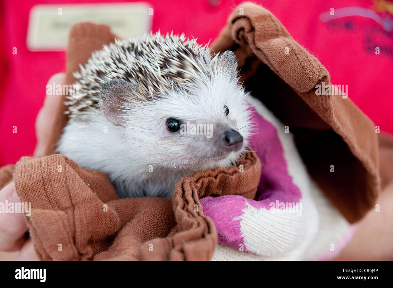 closeup of hedgehog wrapped in brown towel with red background - Stock Image
