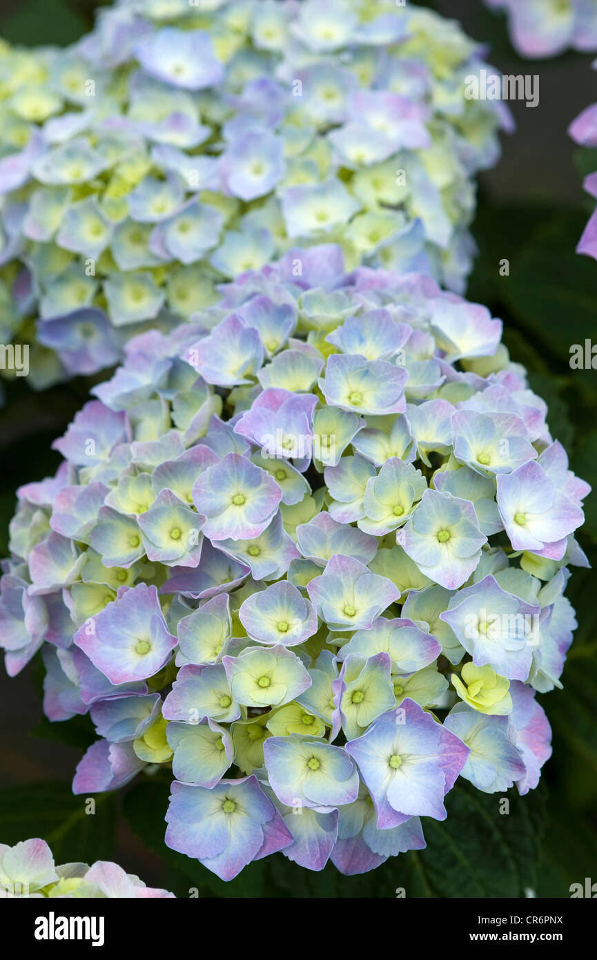 hydrangea mophead blue flower head in bloom - Stock Image