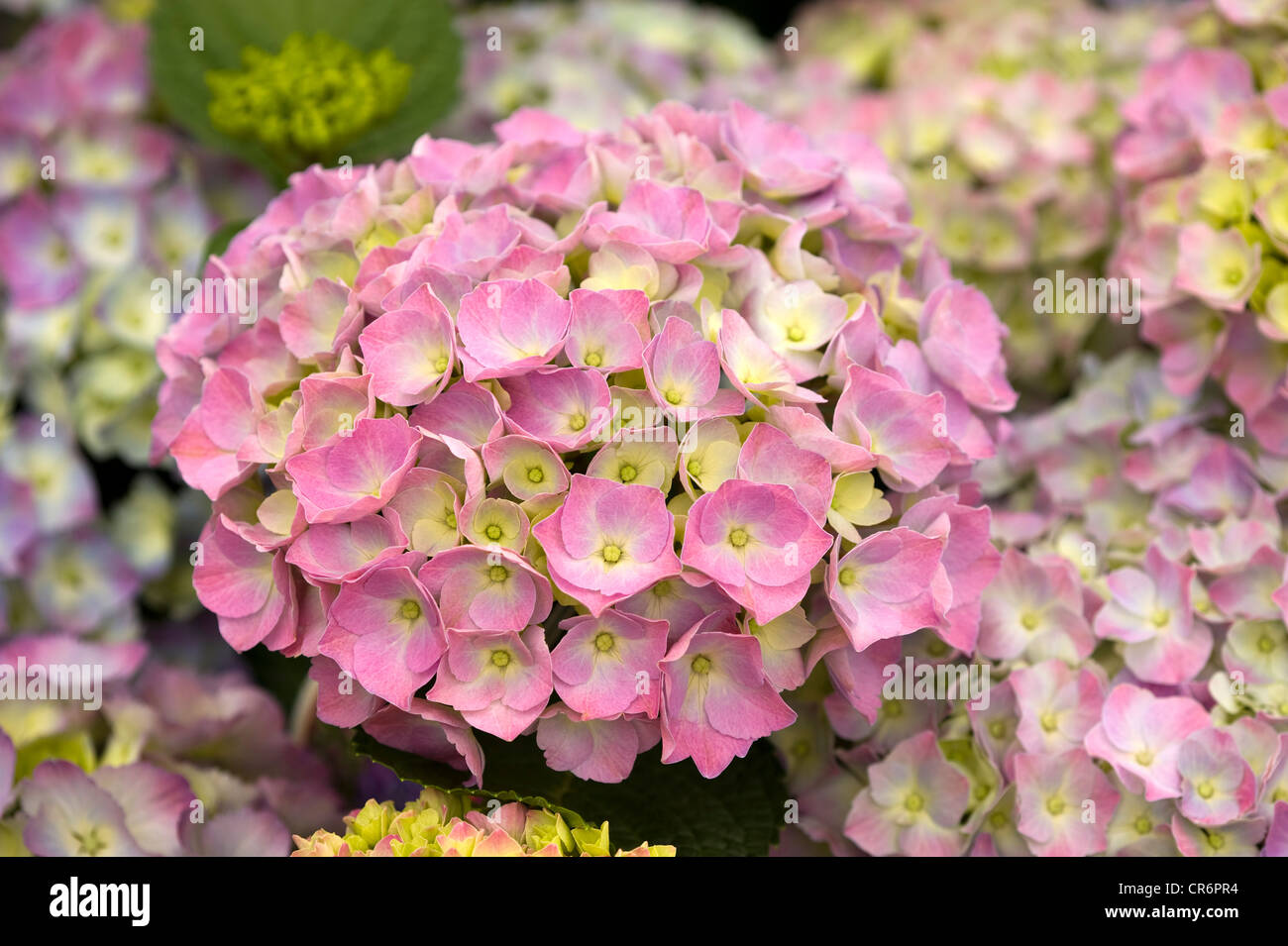 hydrangea flower head in bloom pink colour - Stock Image