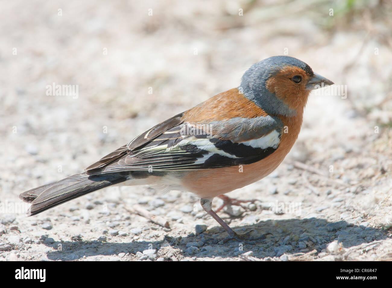 Male chaffinch (Fringilla coelebs) - Stock Image