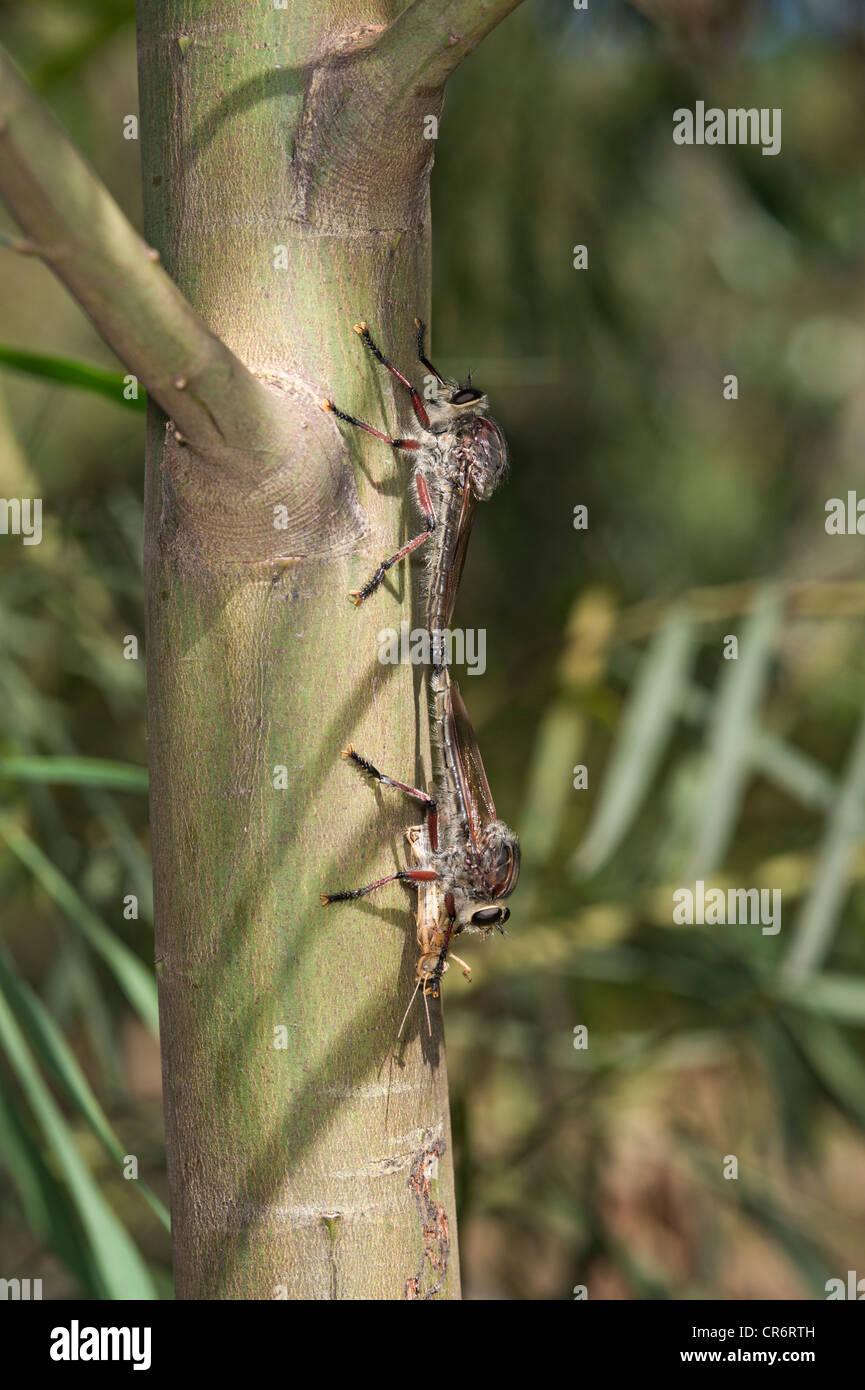 Mating robber flies feeding on locust - Stock Image