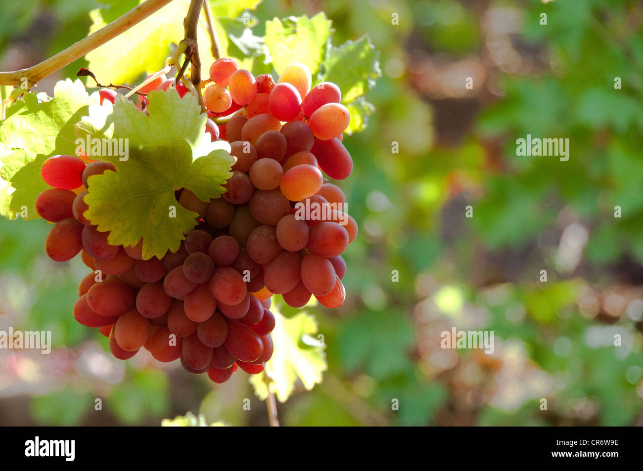 bunch of back lite red grapes with one grape leaf. - Stock Image