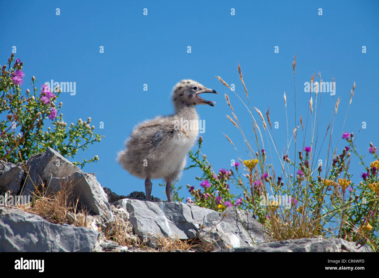 Great black-backed gull (Larus marinus), chick sitting on a ruined fort, fishing village of , La Spezia province - Stock Image