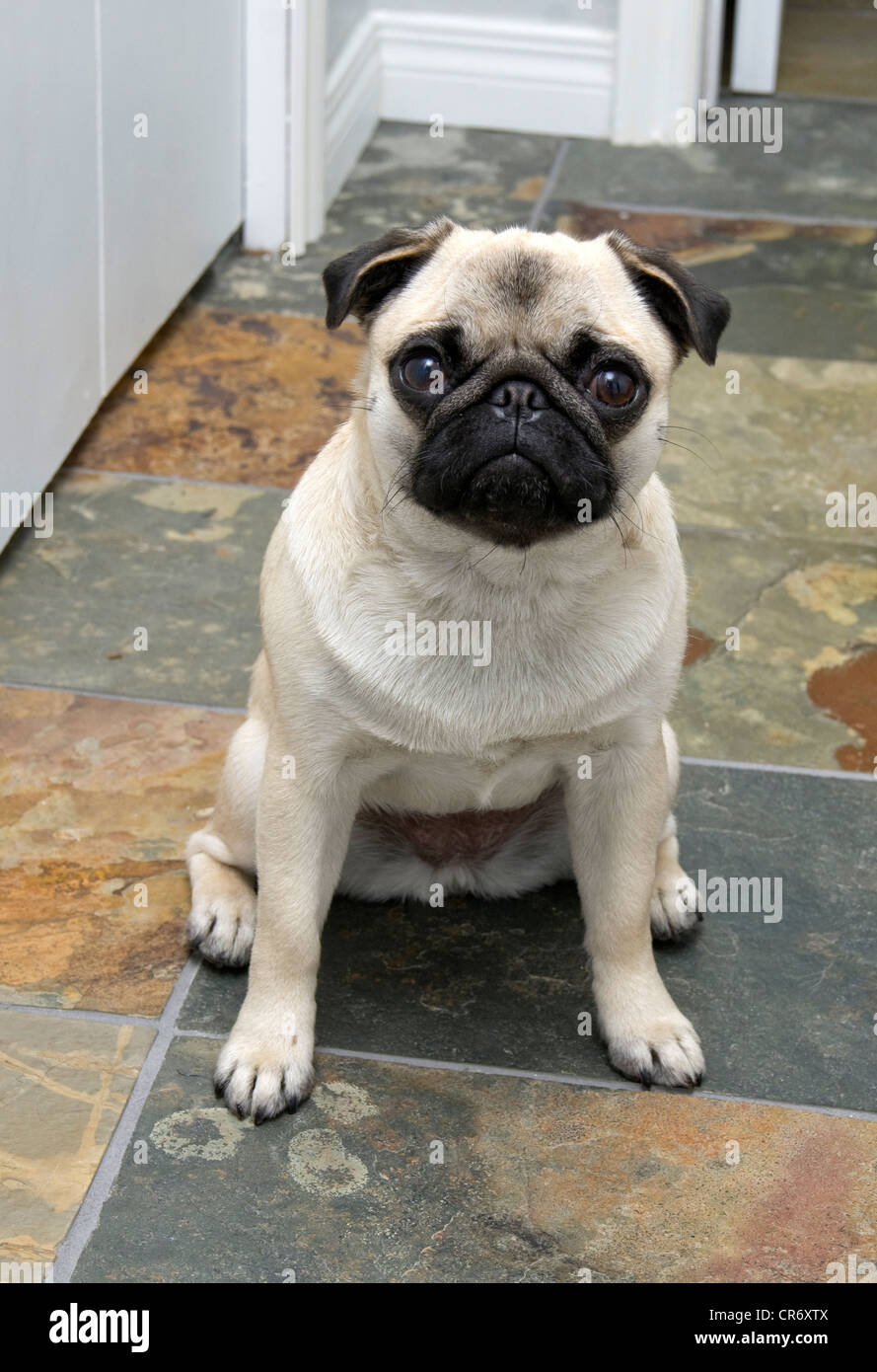 A one year old fawn coloured Chinese pug dog sitting on slate tile. - Stock Image