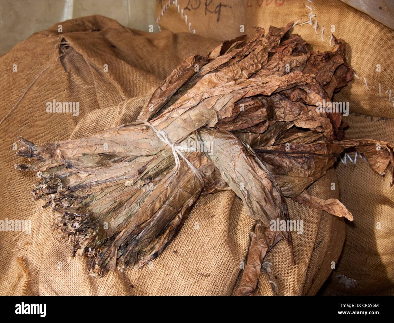 Tobacco leafs in the cigar factory of El Sitio, Brena Alta, La Palma, Spain, Canary Islands, Europe, Atlantic Ocean - Stock Image