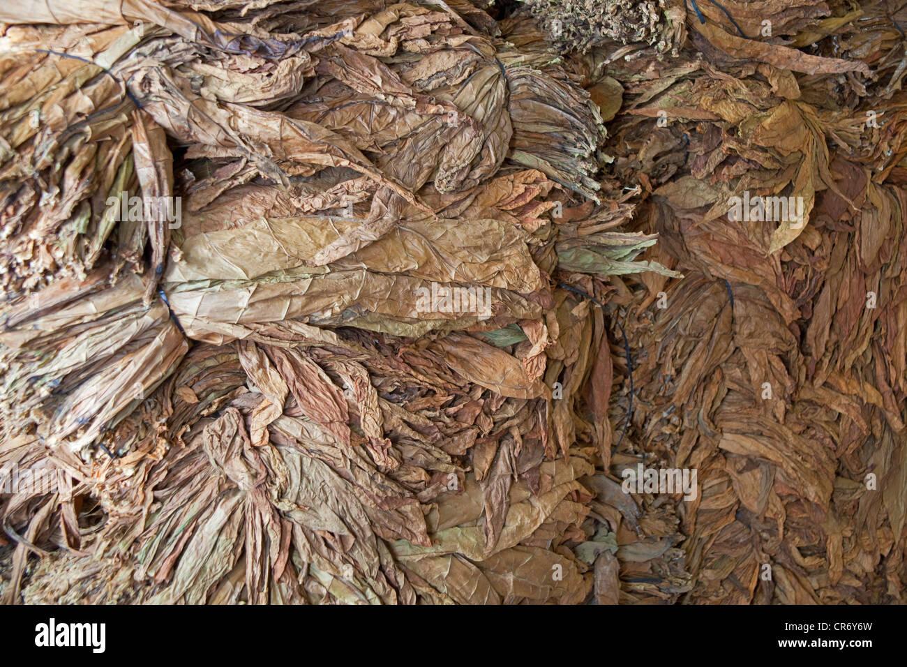 Tobacco leafs in the El Sitio cigar factory, Brena Alta, La Palma, Spain, Canary Islands, Europe, Atlantic Ocean - Stock Image