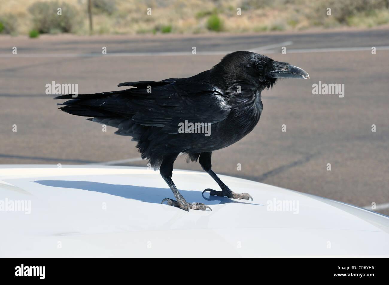 Black raven on top of the car, Grand Canyon, Arizona, USA - Stock Image