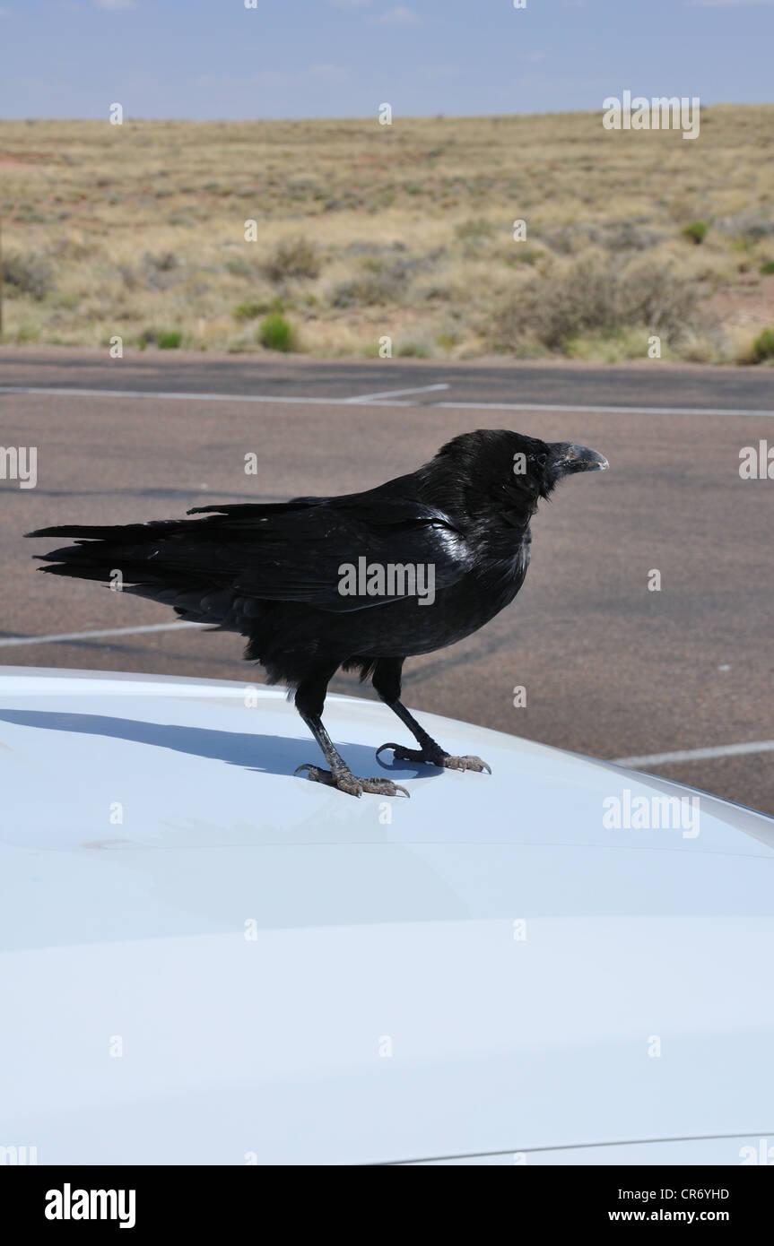 Black raven on top of the car, rural Arizona, USA - Stock Image
