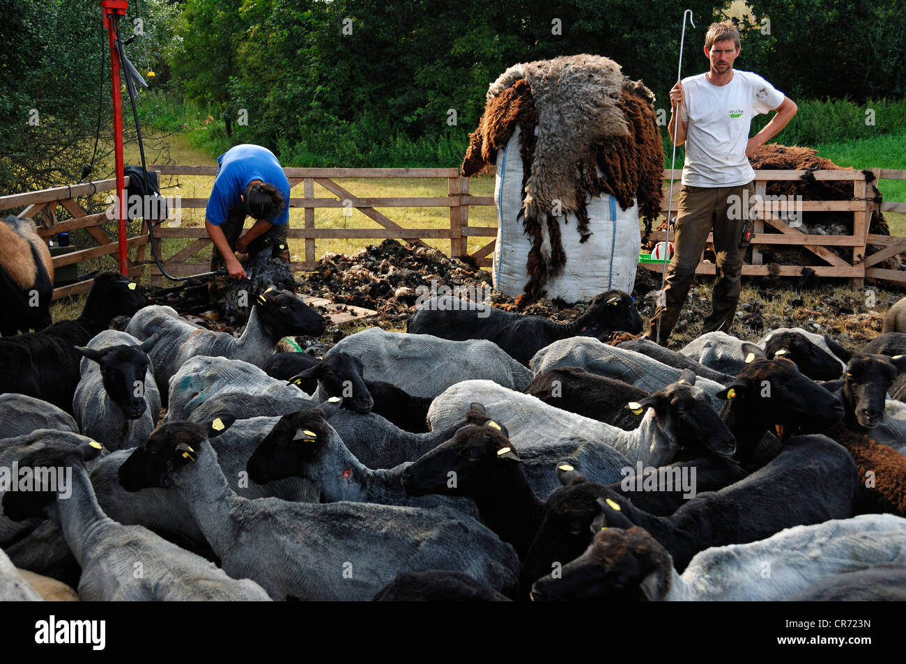 Sheep shearer and assistant holding a crook, freshly shorn sheep at the front and a bag with sheep's wool in - Stock Image