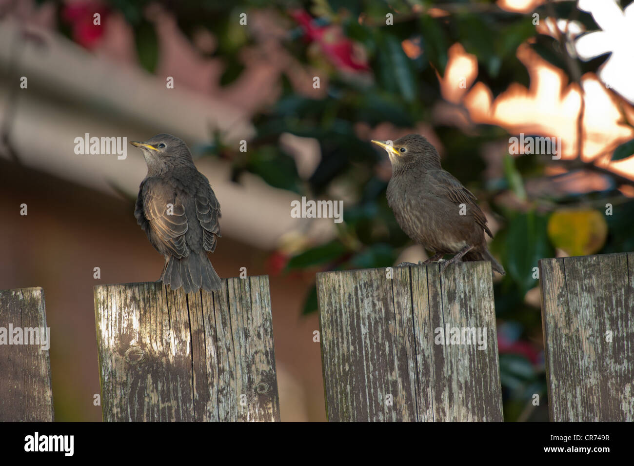 Two Starling Fledglings on fence post - Stock Image