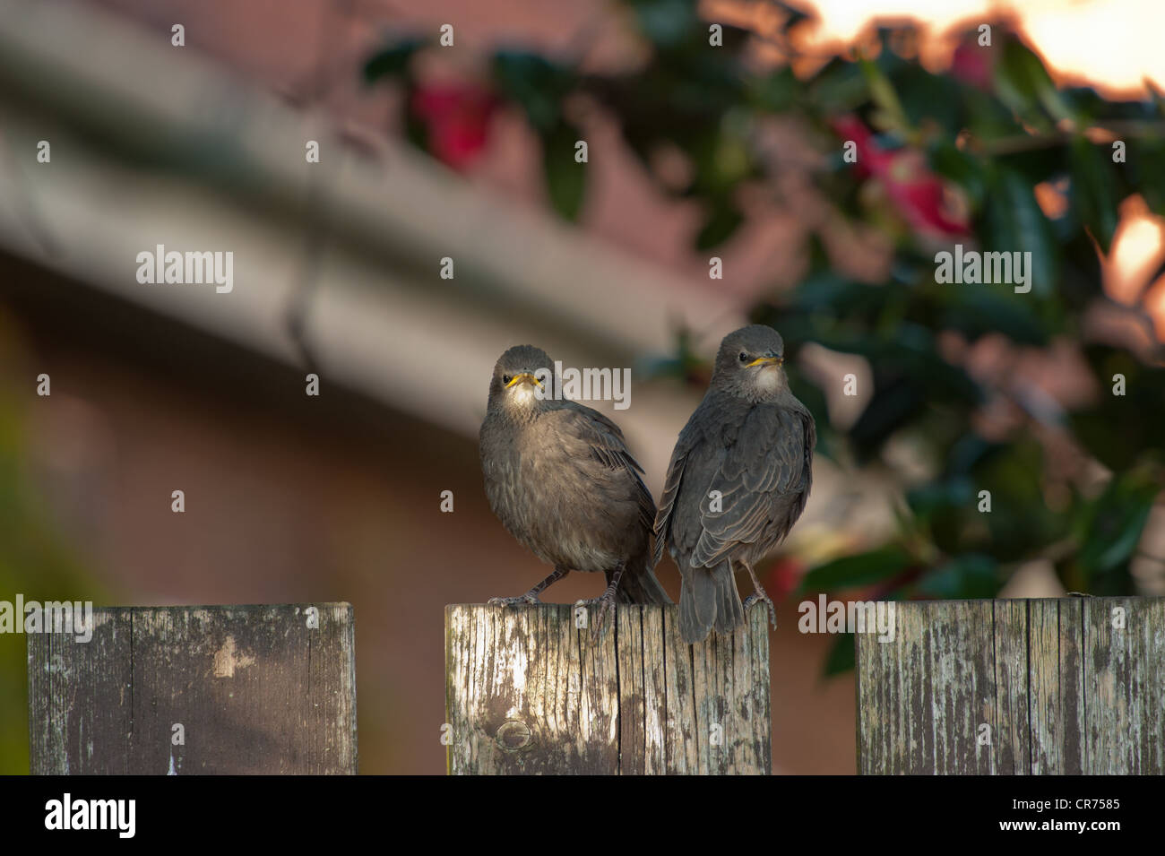 Two Starling Fledglings on fence - Stock Image