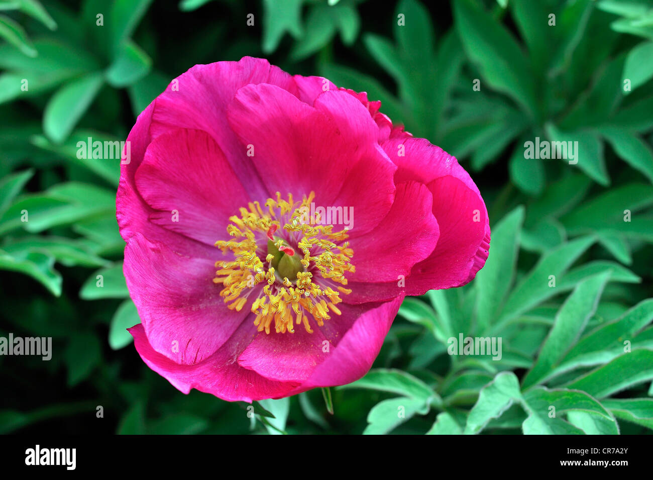 Low Peony (Paeonia officinalis subspecies microcarpa), Southern Europe - Stock Image